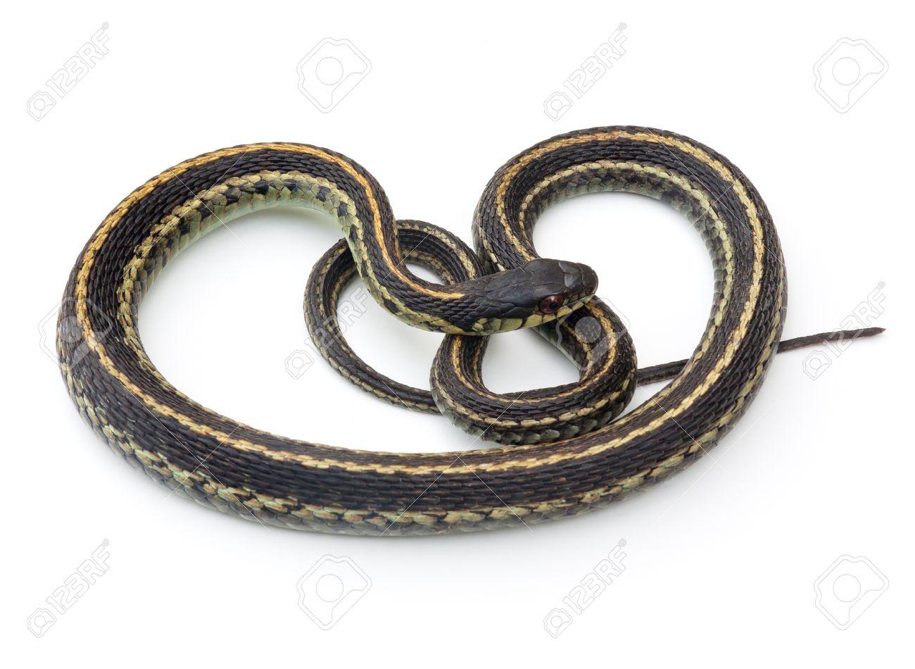 Eastern Garter Snake (Thamnophis sirtalis) on a white background Stock Photo - 9405386
