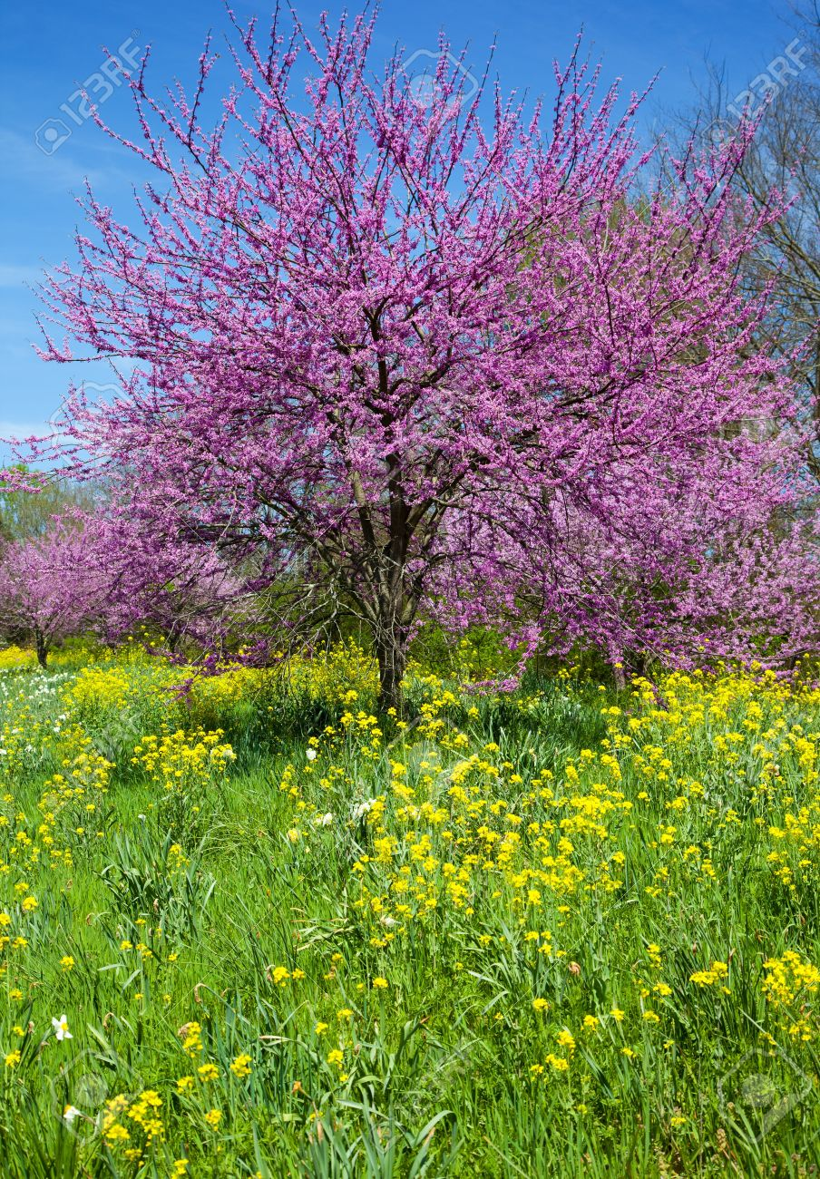 Eastern Redbud Tree Cercis Canadensis With Wild Mustard