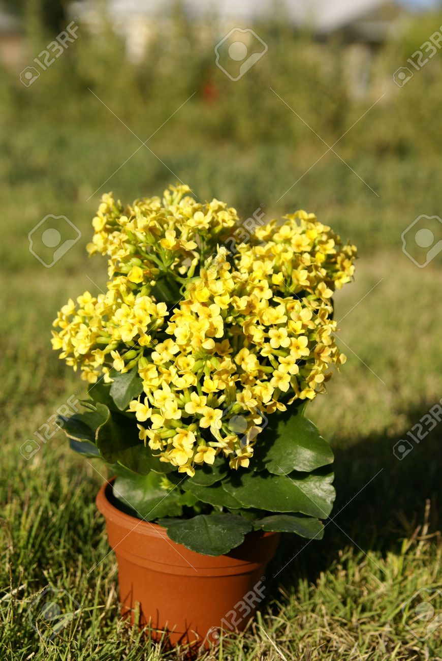 Succulent Tropical Kalanchoe Plant With Yellow Flowers In A Pot