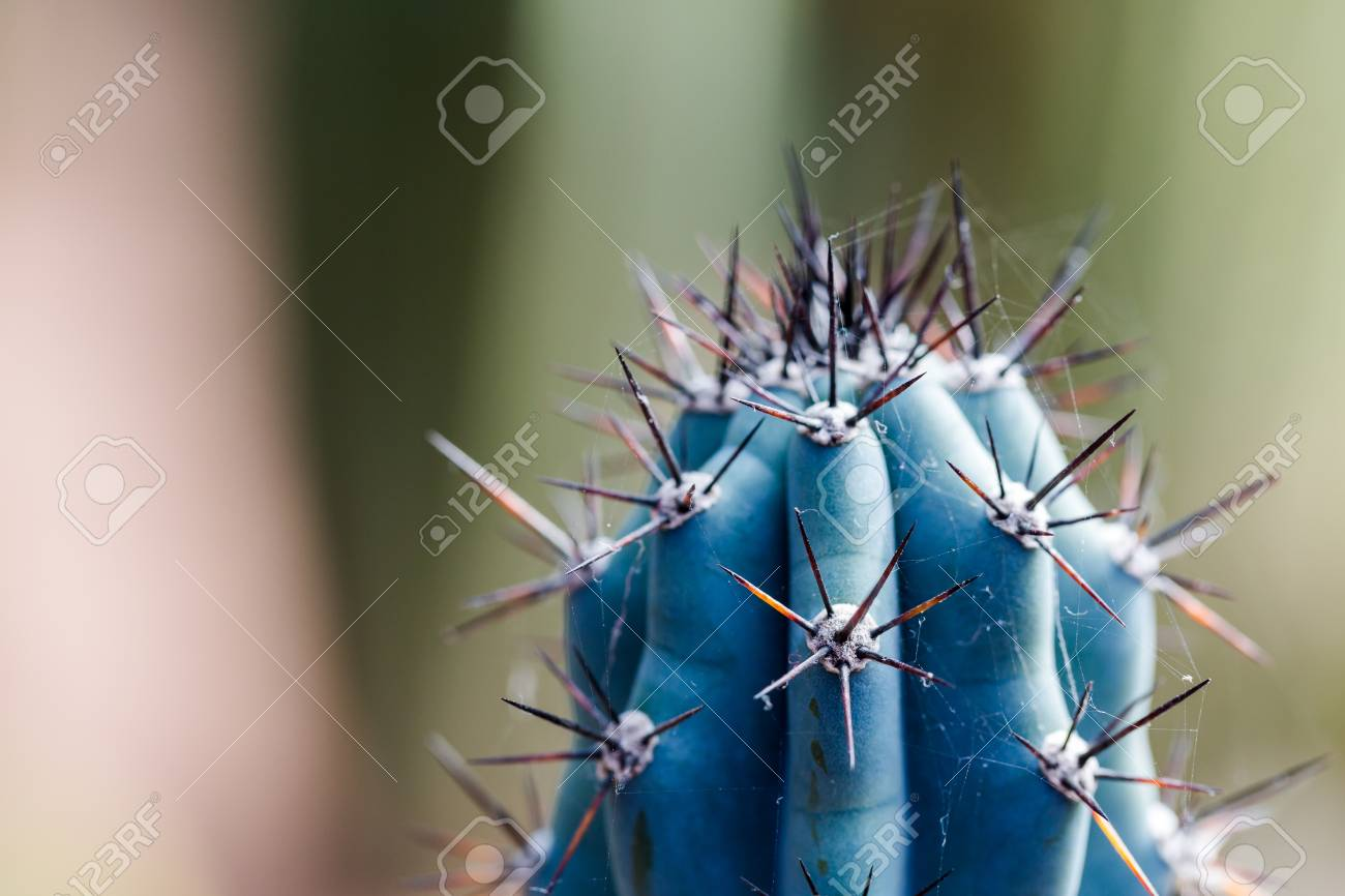 Extreme Close Up On Sharp Blue Cactus With Black Star Spikes Stock Photo Picture And Royalty Free Image Image 78593930