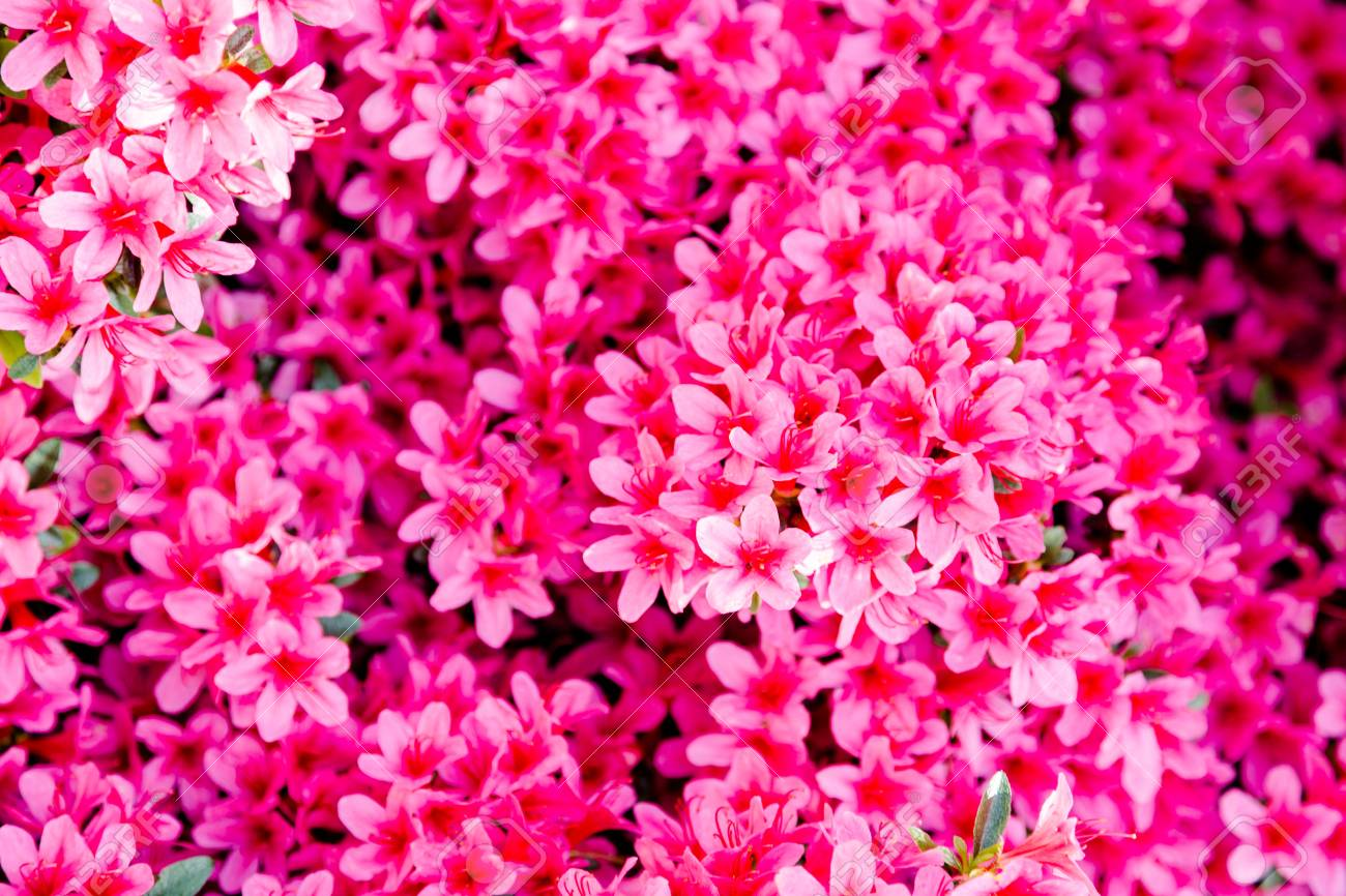 Small bright pink flowers head opaque background full frame stock small bright pink flowers head opaque background full frame close up horizontal crop stock photo mightylinksfo