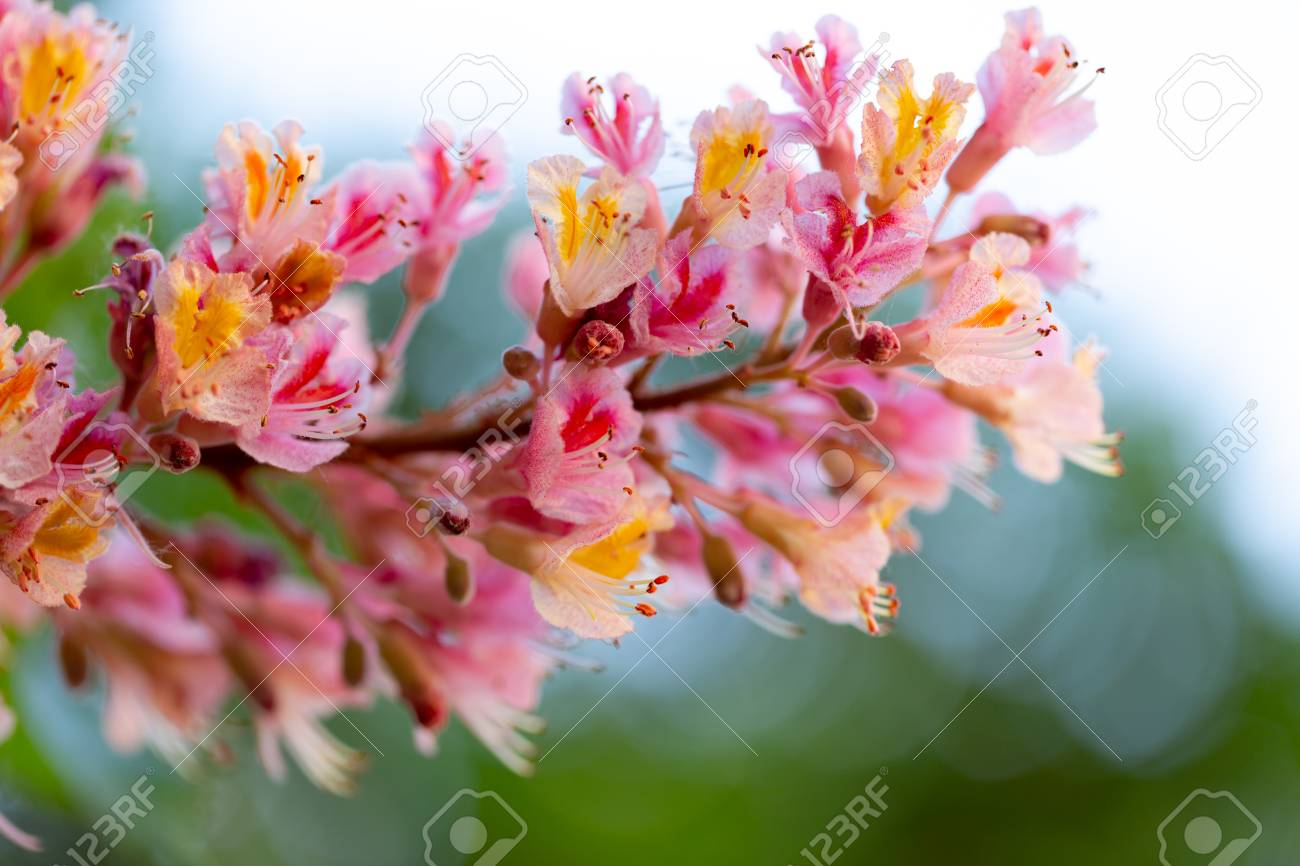 Pink Chestnut Tree Aesculus Carnea Or Red Horse Chestnut
