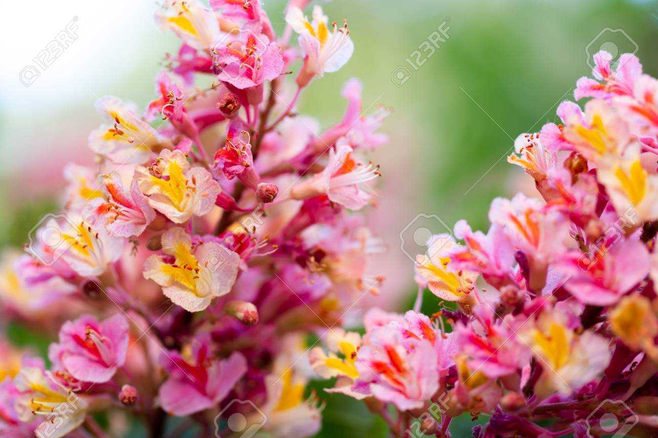 Pink chestnut tree aesculus carnea or red horse chestnut stock pink chestnut tree aesculus carnea or red horse chestnut blooming flowers in mightylinksfo