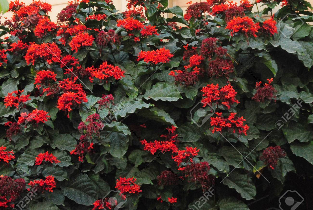 Clerodendrum Splendens Is Creeper With Blood Red Flowers Stock