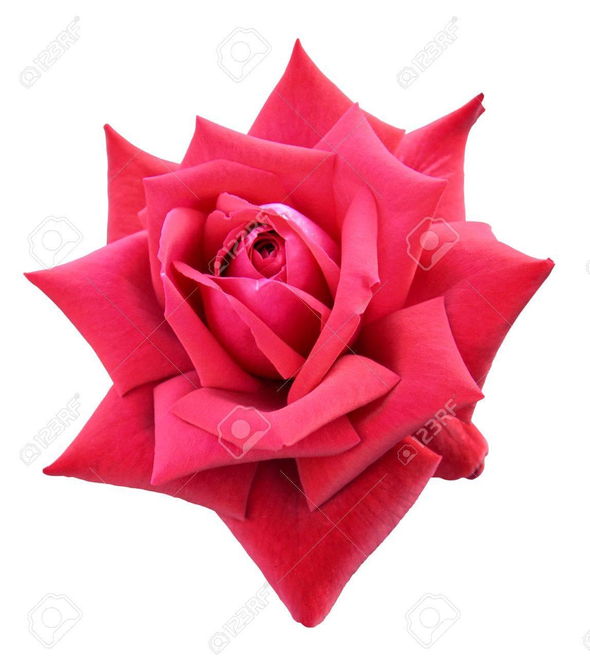 Dispo sur FIGHTCADE - Page 7 14376704-big-bouton-de-rose-rose-rouge-isol%C3%A9-sur-fond-blanc