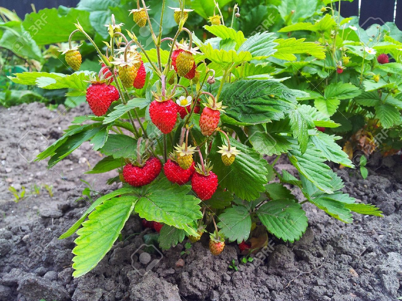 Strawberry Plant, Fragaria Vesca, Woodland Strawberry, European ...