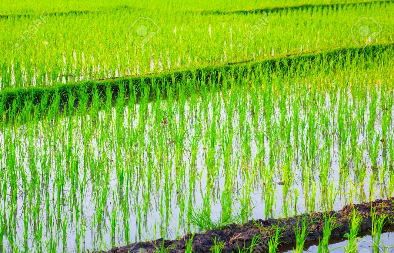Rice Field in Asia Stock Photo - 11928239