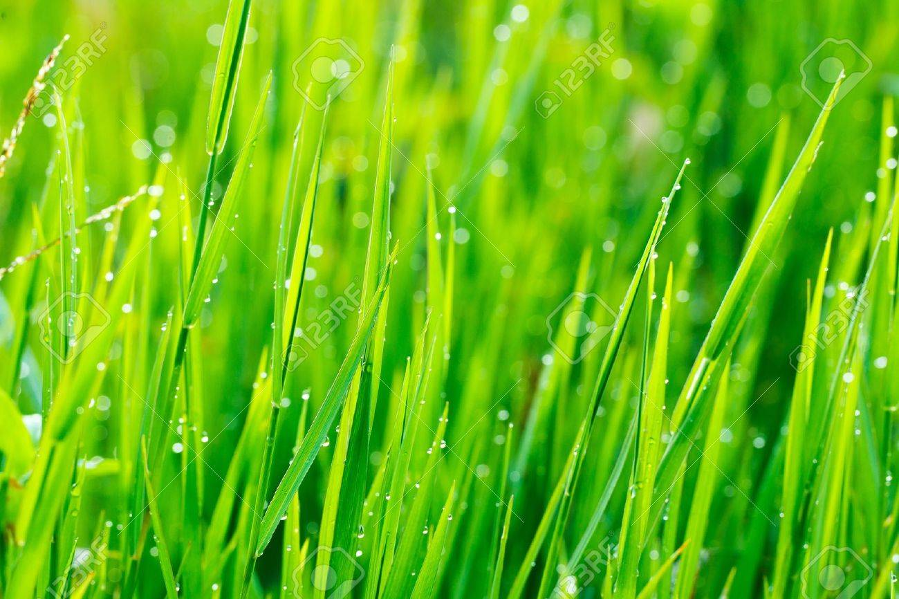 Close up of fresh grass with water drops in the early morning Stock Photo - 13617030