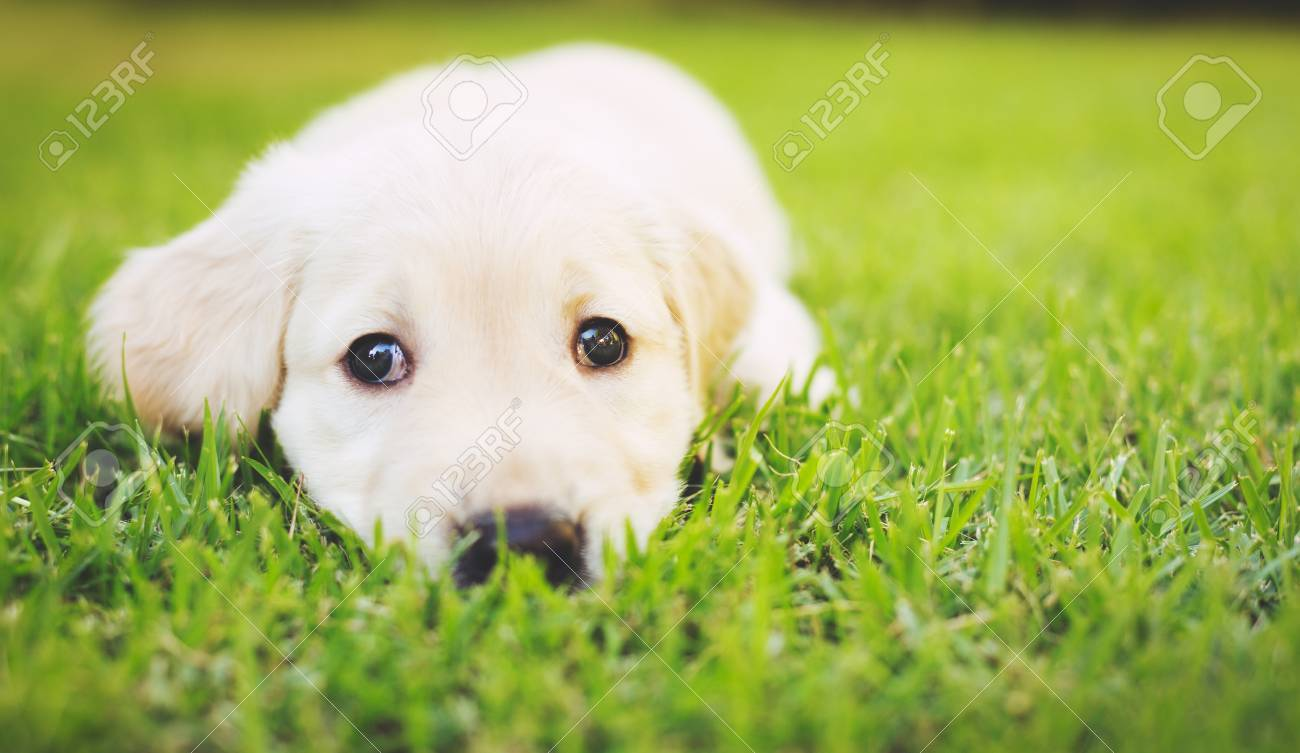 super cute adorable golden retriever puppy in the yard stock photo