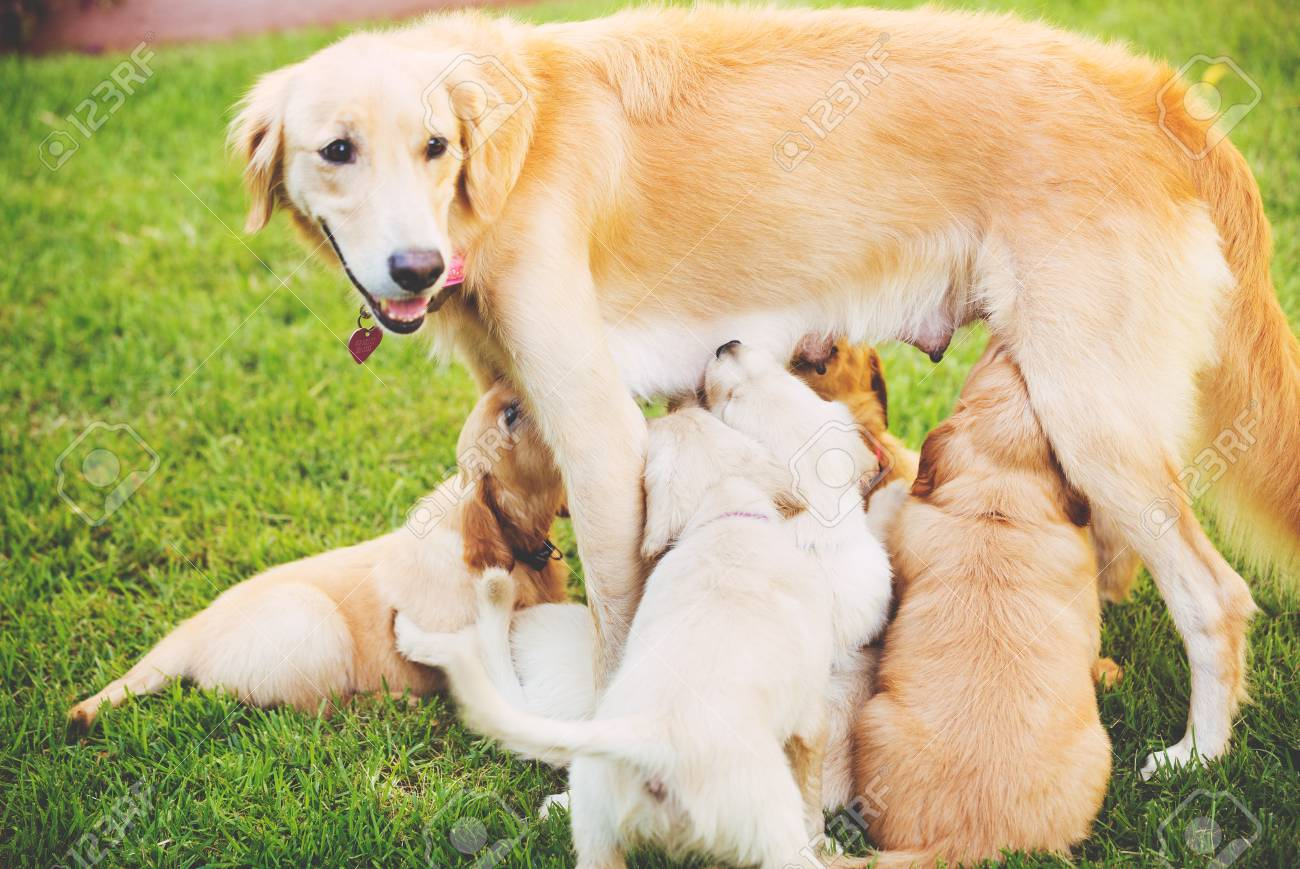 Golden Retriever Puppies Nursing From Their Mother Mother In Stock