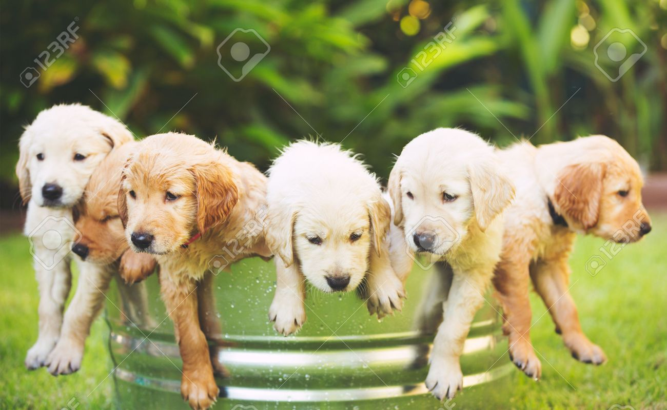 Adorable Group Of Golden Retriever Puppies In The Yard Stock Photo