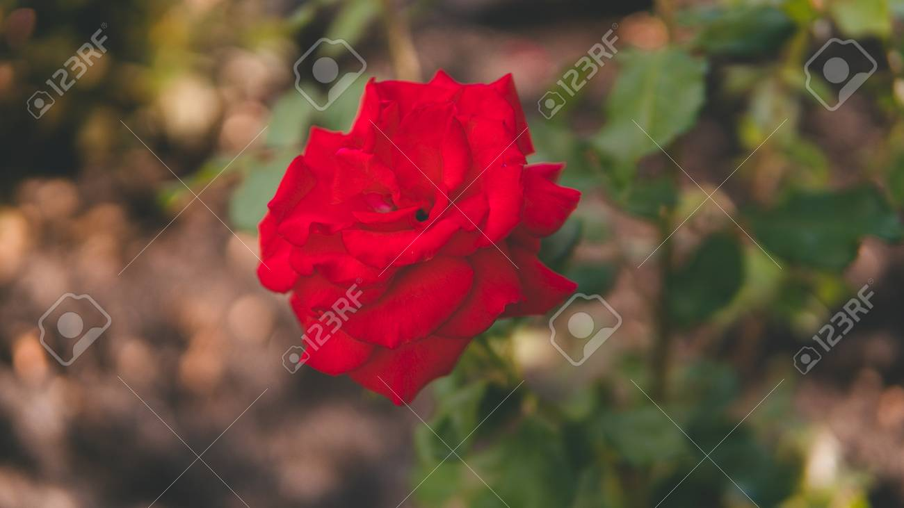 Red beautiful rose flower grows in the garden rose in the natural red beautiful rose flower grows in the garden rose in the natural environment izmirmasajfo