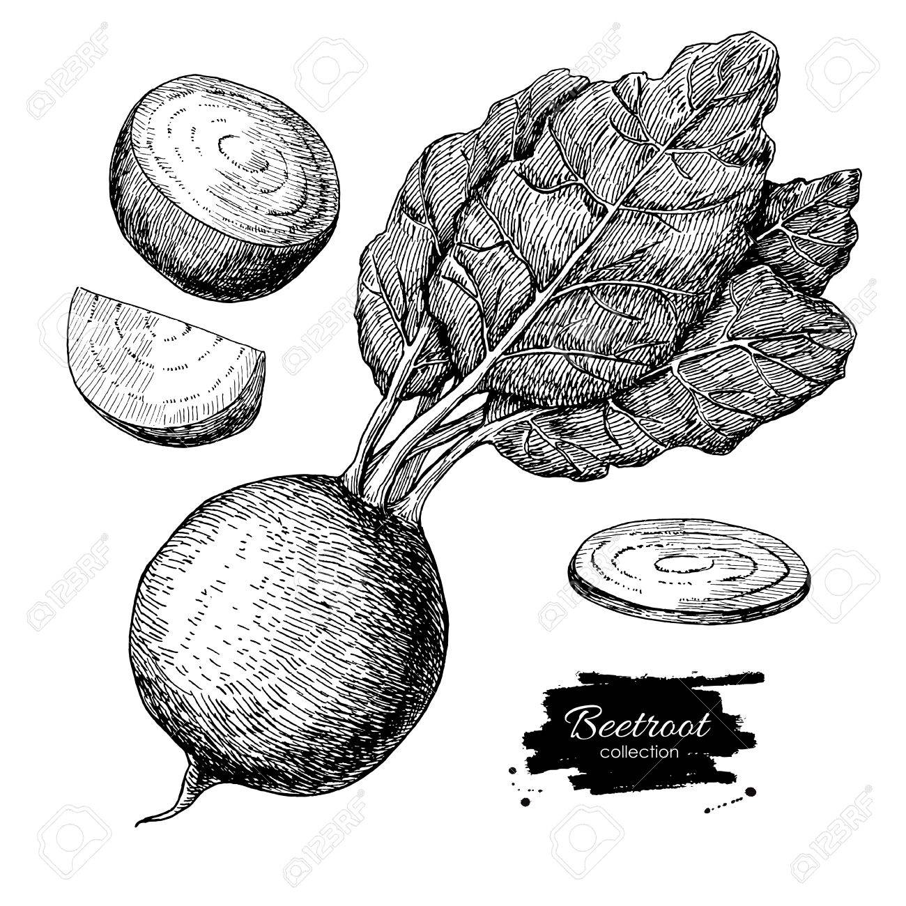 Beetroot Hand Drawn Vector Set. Vegetable Engraved Style ... for Drawing Beetroot  155fiz