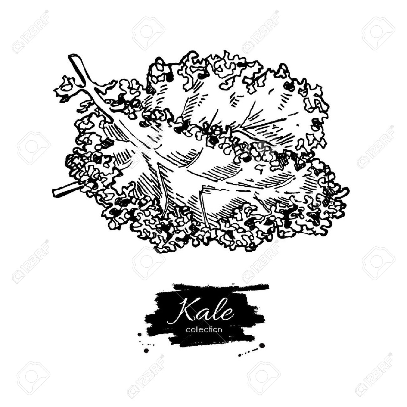 Kale hand drawn vector. Vegetable engraved style illustration. Isolated Kale. Detailed vegetarian food drawing. Farm market product. - 58613417