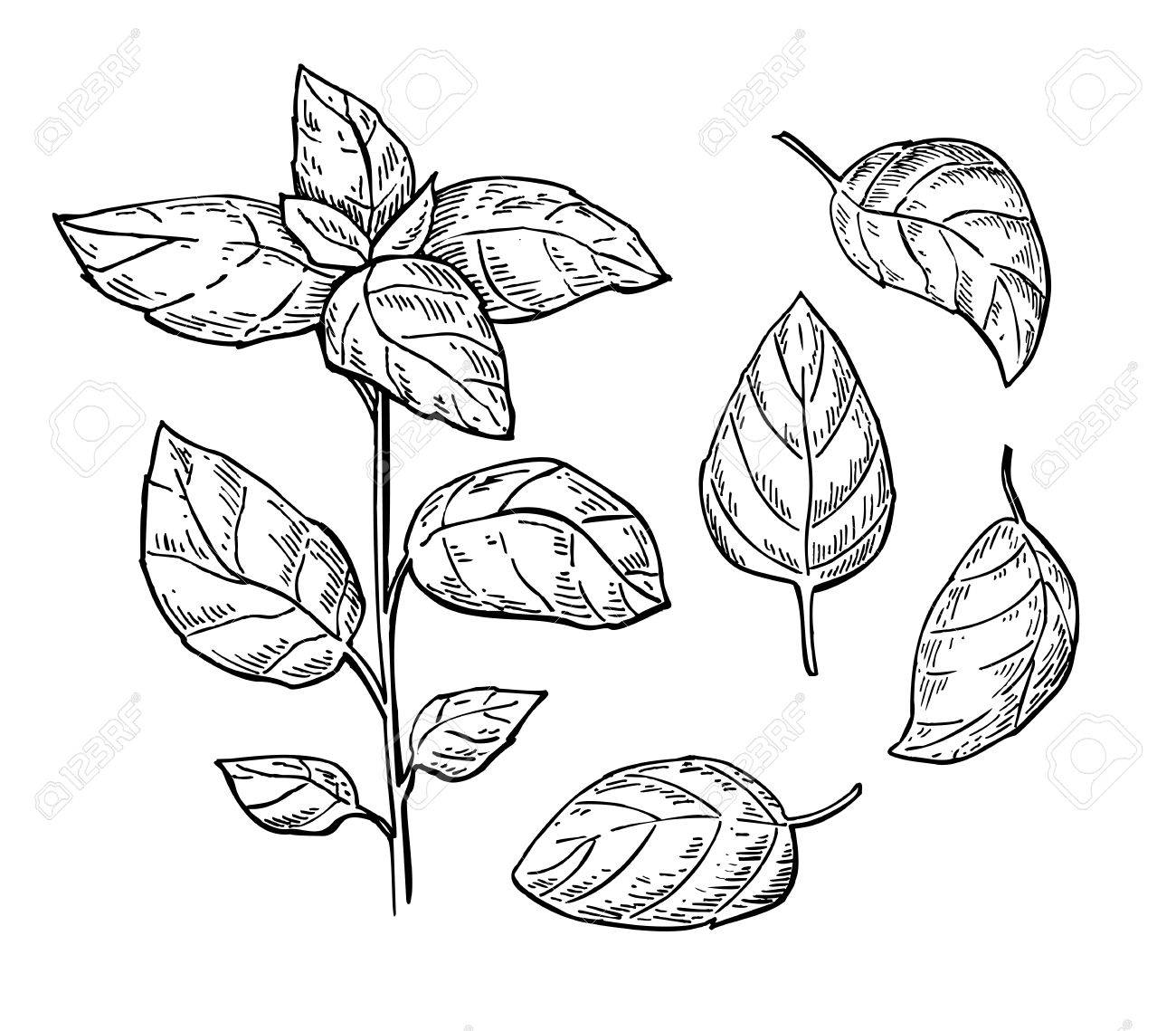 Basil Leaves Drawing