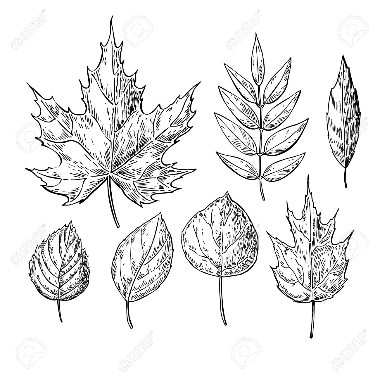 Vector vector autumn drawing leaves set isolated objects hand drawn detailed botanical illustrations artistic leaf sketch vintage fall seasonal decor