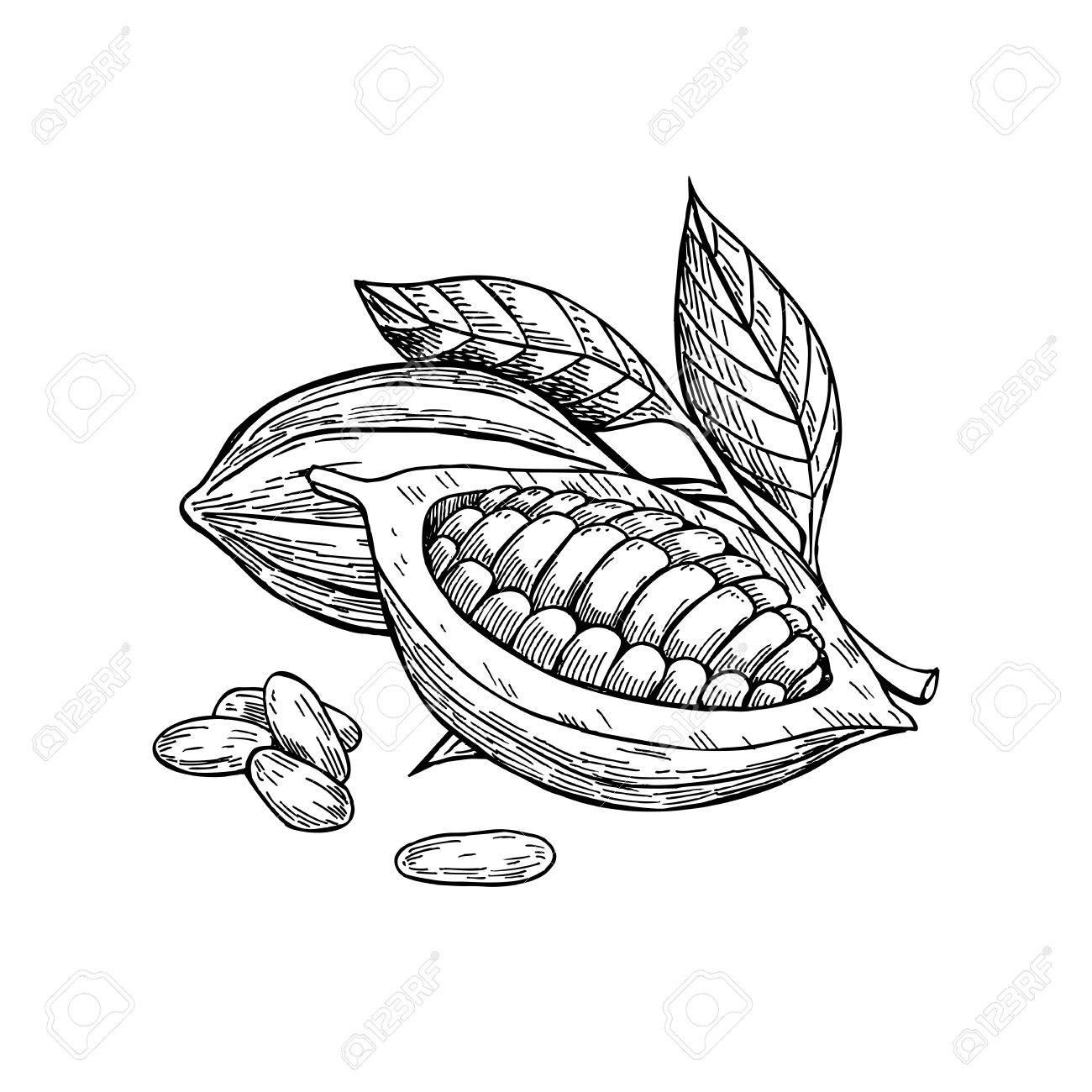 Cocoa vector superfood drawing set. Isolated hand drawn illustration on white background. Organic healthy food. Great for banner, poster, label - 62264007