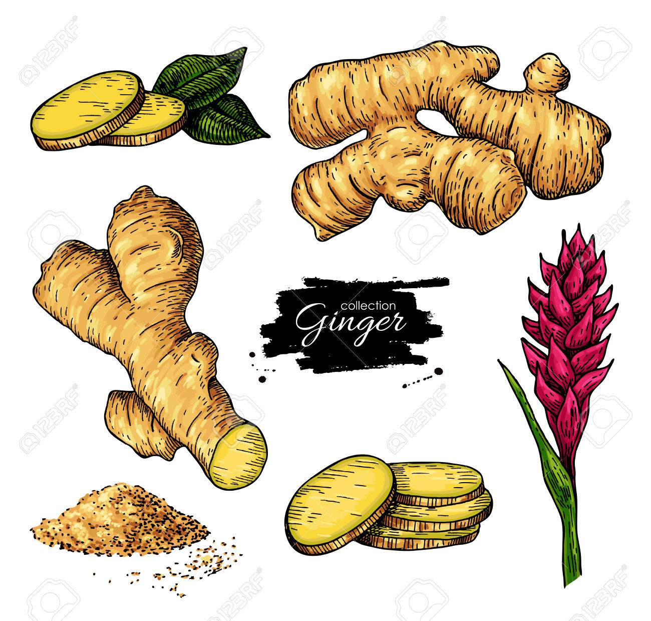 Ginger set. Vector hand drawn root, sliced pieces, powder and flower. Artistic style colorful flavor illustration. Herbal spice. Detox food ingredient. - 72406581