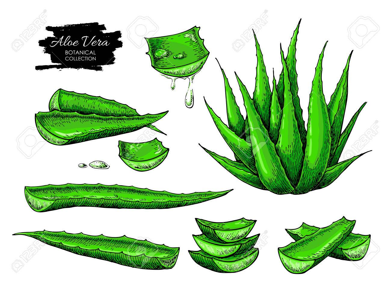 Aloe Vera Vector Illustration Set Hand Drawn Artistic Isolated