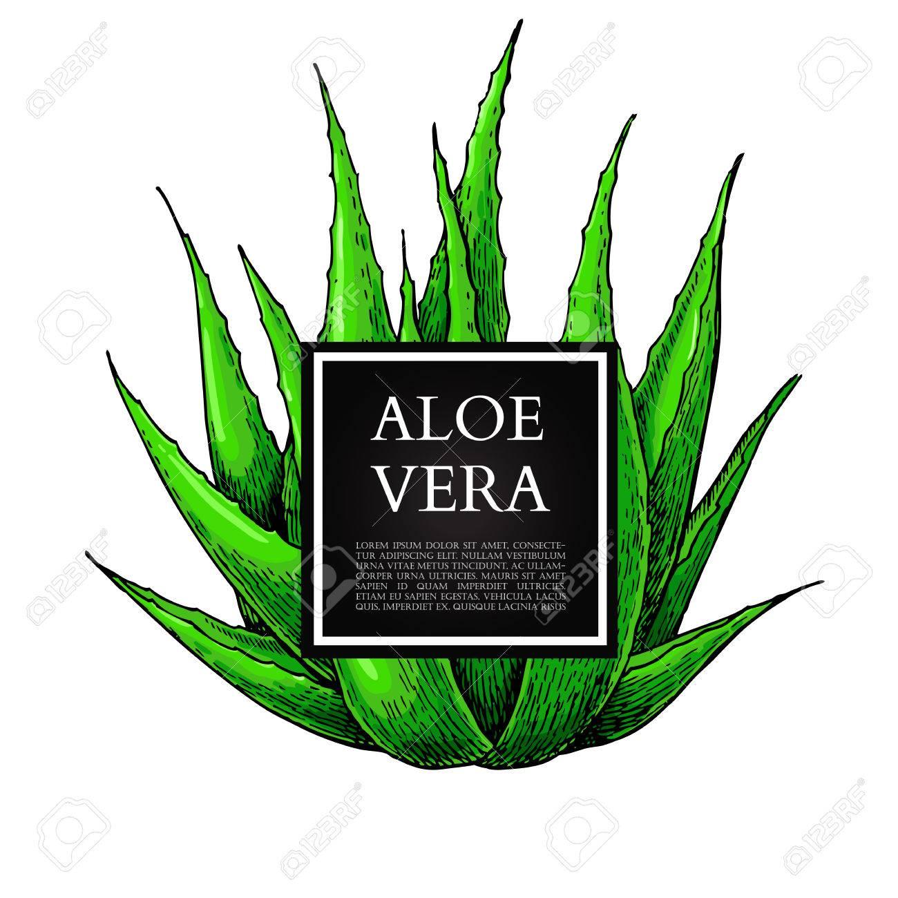 Aloe Vera Illustration Vectorielle Avec Cadre Objet Dessiné à La Main Artistique Isolé Sur Fond Blanc Ingrédient Cosmétique Naturel Dessin