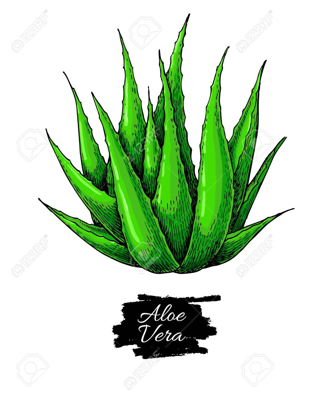 Illustration Vectorielle Aloe Vera Objet Artistique Isolé Dessiné Main Sur Fond Blanc Ingrédient Cosmétique Naturel Dessin Botanique De La Plante