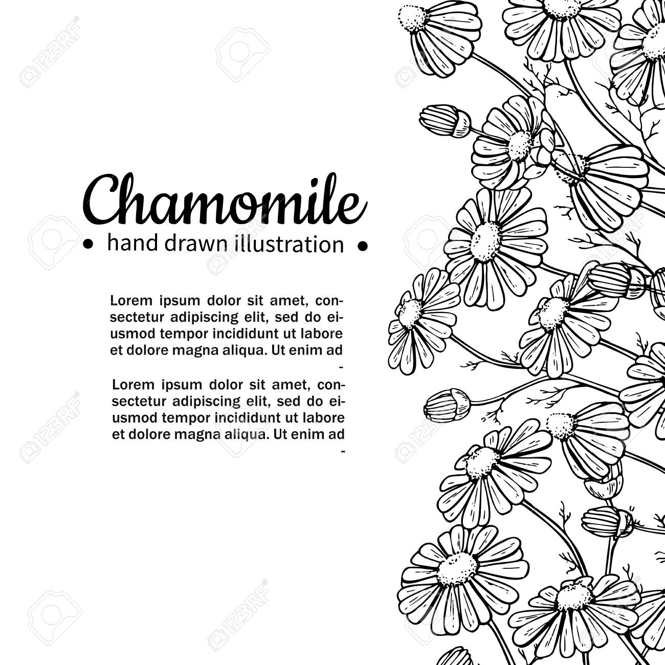 Chamomile Vector Drawing Frame. Isolated Daisy Wild Flower And ...