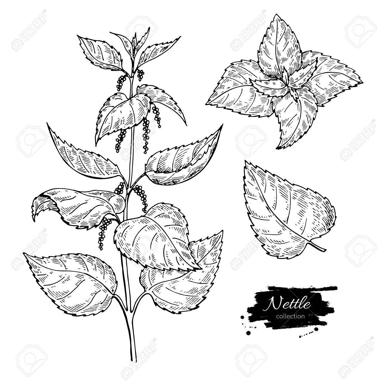 Dessin D Ortie Plante Médicale Isolée Avec Des Feuilles Illustration De Style Gravé à Base De Plantes Détaillé