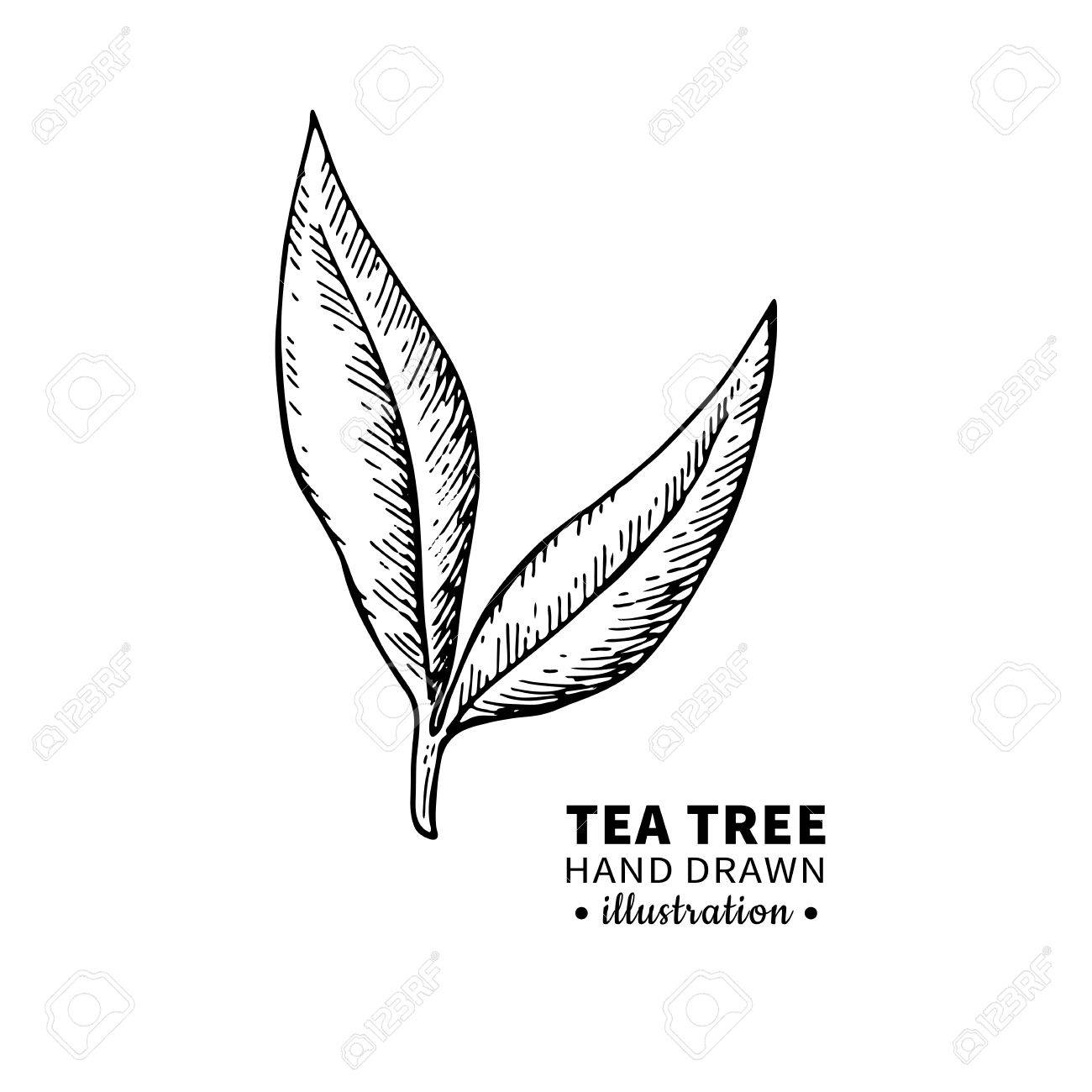 Tea Tree Vector Drawing Isolated Vintage Illustration Of Medical Plant Leaves On Branch Organic