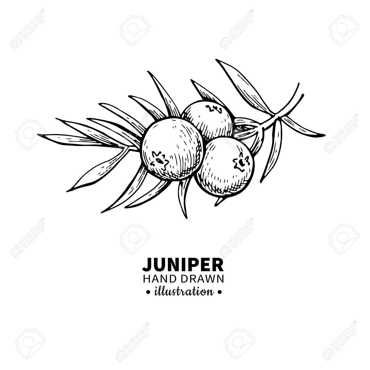 520 Juniper Berries Stock Vector Illustration And Royalty Free