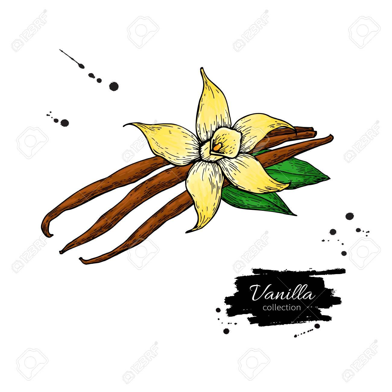 Dessin de fleur de vanille et bâton de haricot.