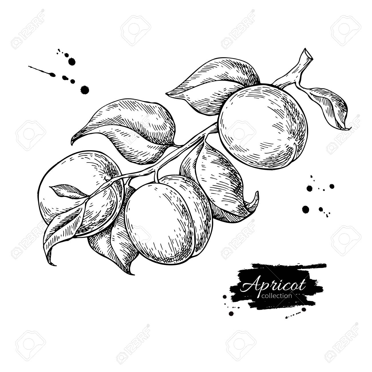 Apricot branch vector drawing. Hand drawn isolated fruit. Summer - 98314666
