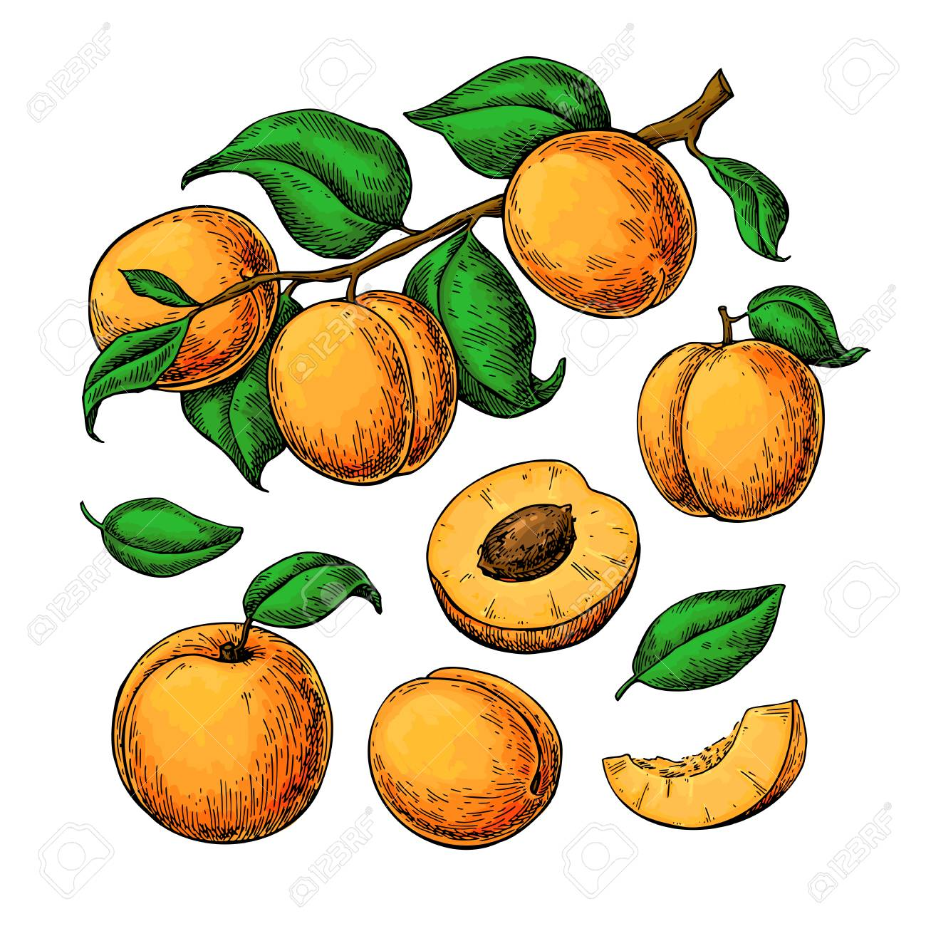Apricot vector drawing set. Hand drawn fruit, branch and sliced pieces. Summer food illustration. Detailed vegetarian sketch. Great for label, poster, print, menu, packaging design - 99636383