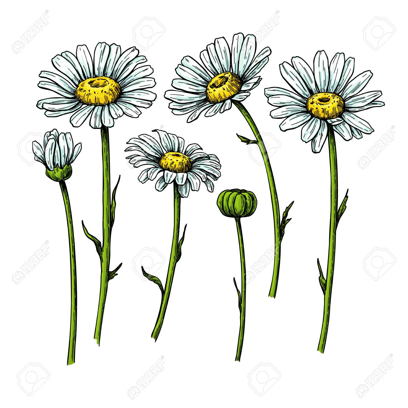 Daisy flower drawing. Vector hand drawn floral object. Chamomile sketch set. Wild botanical garden bloom. Great for tea packaging, label, icon, greeting cards, decor - 112316047