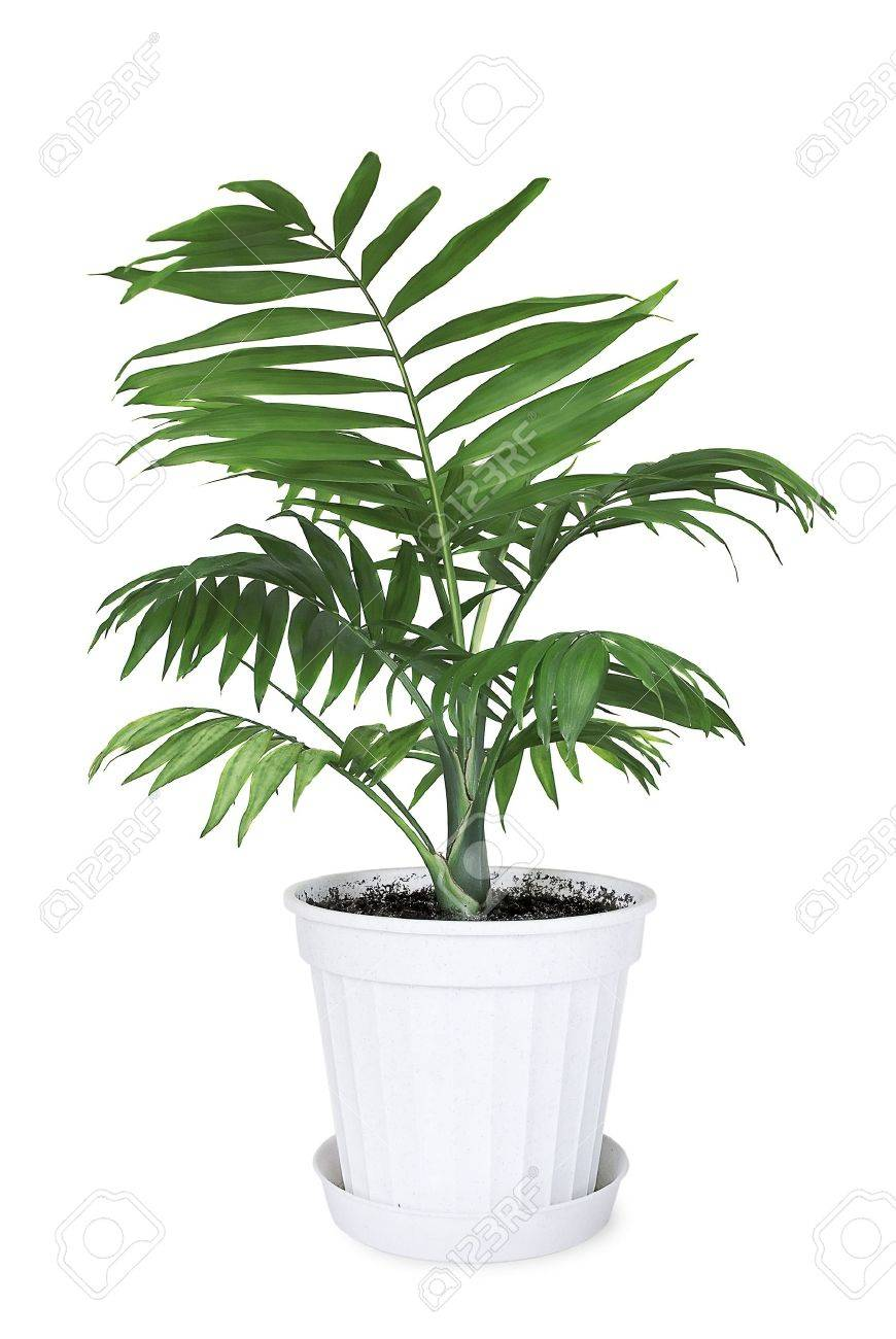House plant Chamaedorea in a flower pot on a white background Stock Photo - 21850661  sc 1 st  123RF.com & House Plant Chamaedorea In A Flower Pot On A White Background Stock ...