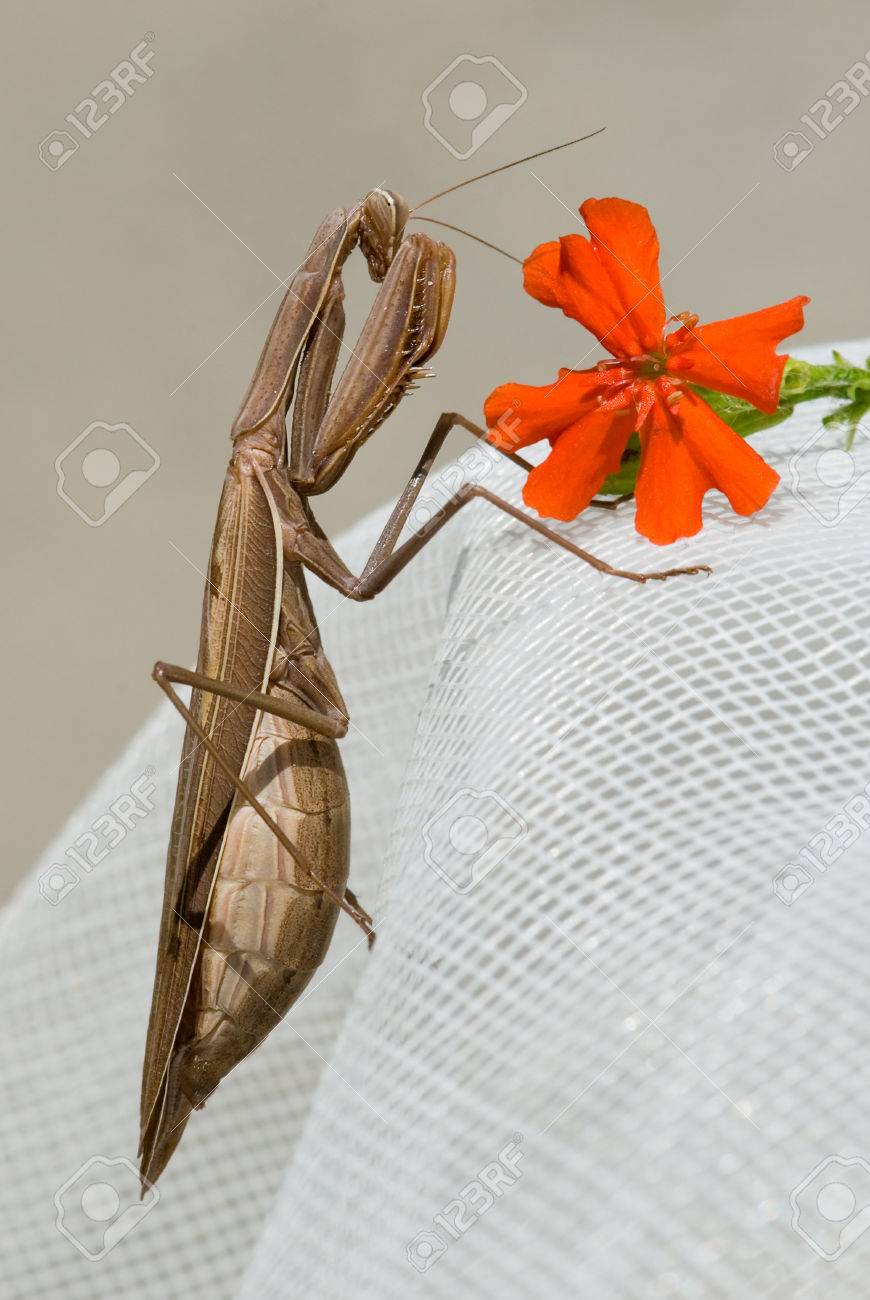 Brown mantis religiosa with red carnation flower stock photo brown mantis religiosa with red carnation flower stock photo 22187078 mightylinksfo