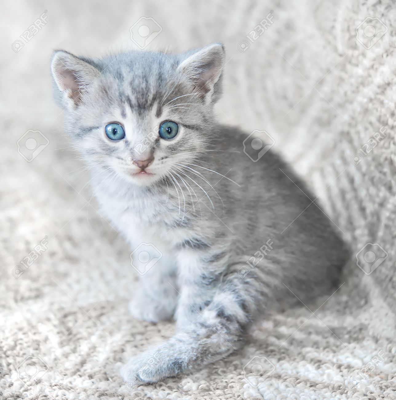Gray Fluffy Kitten With Blue Eyes Looking At The Camera Stock