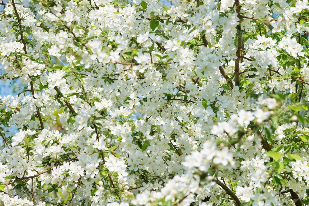 Fond Naturel D\'une Variété De Fleurs De Pommiers En Fleurs Dans Le ...