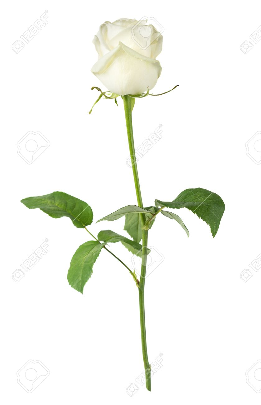 Elegant white rose on a long stem with green leaves isolated stock elegant white rose on a long stem with green leaves isolated on white background side mightylinksfo