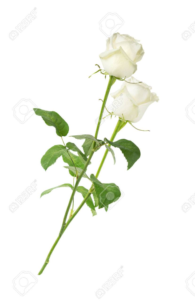 Two White Roses On A Long Stem With Green Leaves Isolated On White