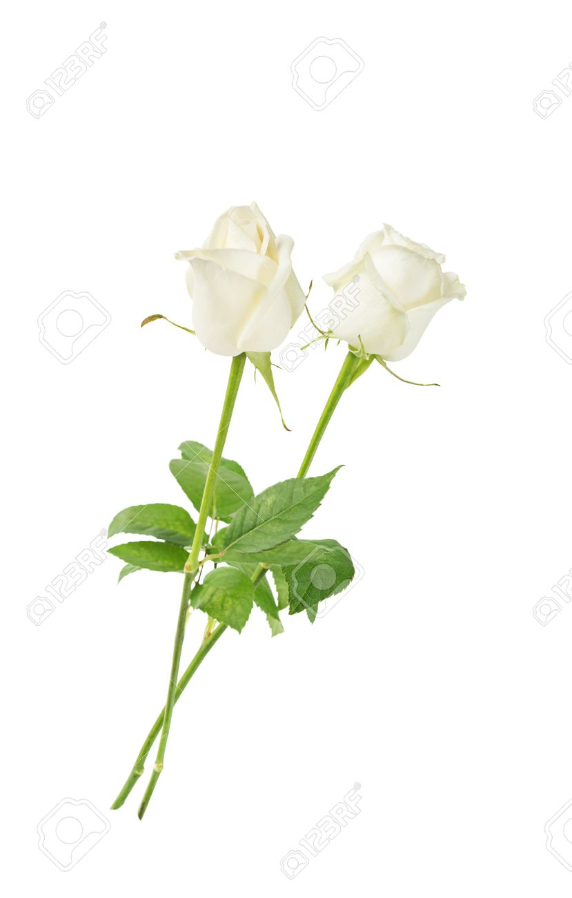 Lone Stem Roses Stock Photos Royalty Free Lone Stem Roses Images