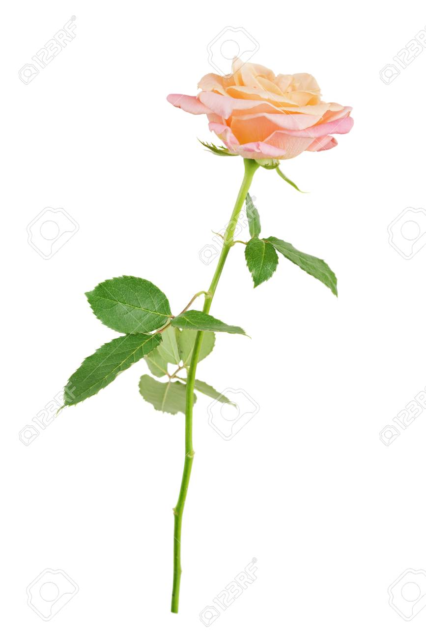 Elegant Pink Rose On A Long Stem With Green Leaves Isolated On