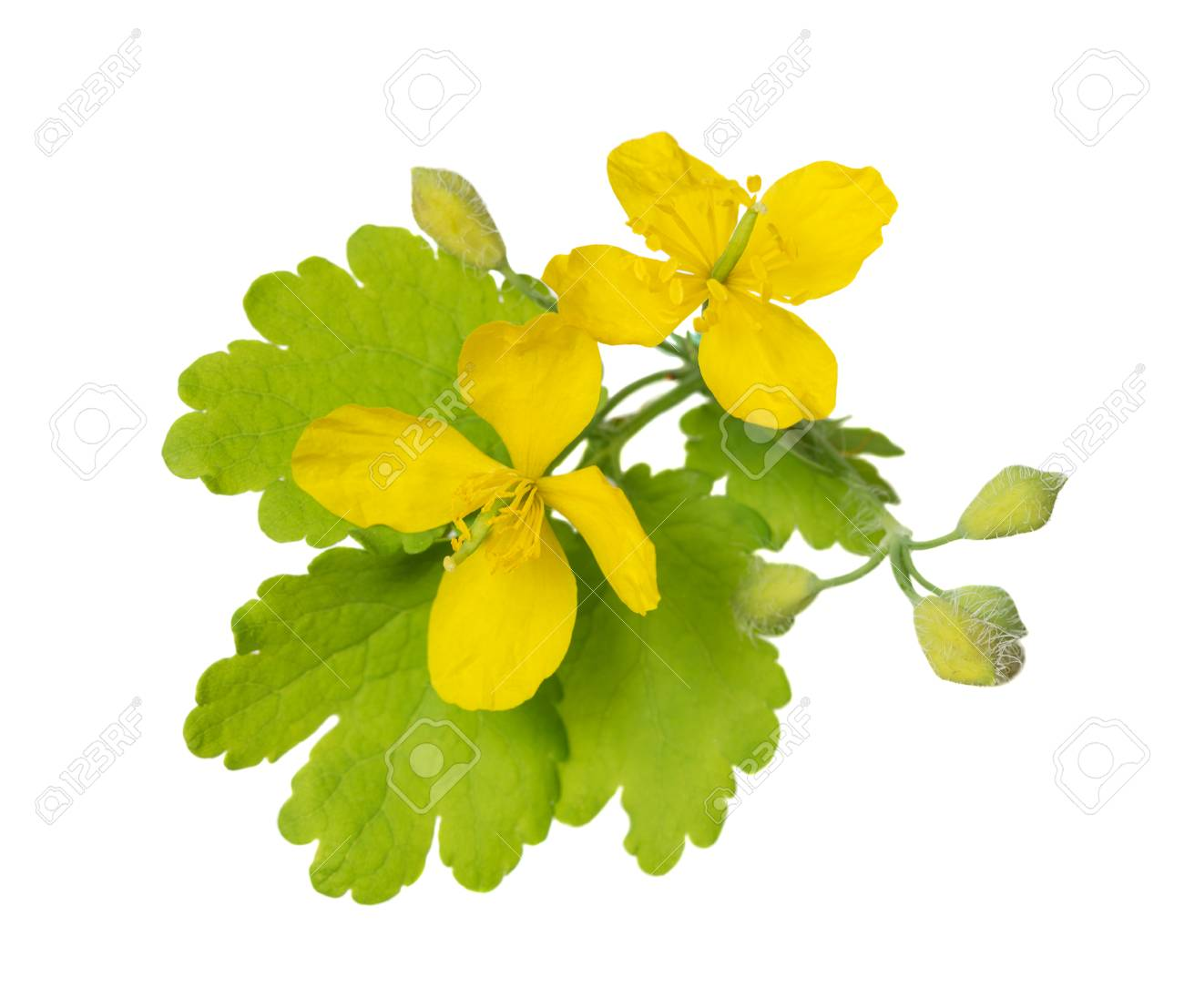 Yellow flowers and green leaves of a medicinal herb celandine stock photo yellow flowers and green leaves of a medicinal herb celandine in may isolated on white background mightylinksfo