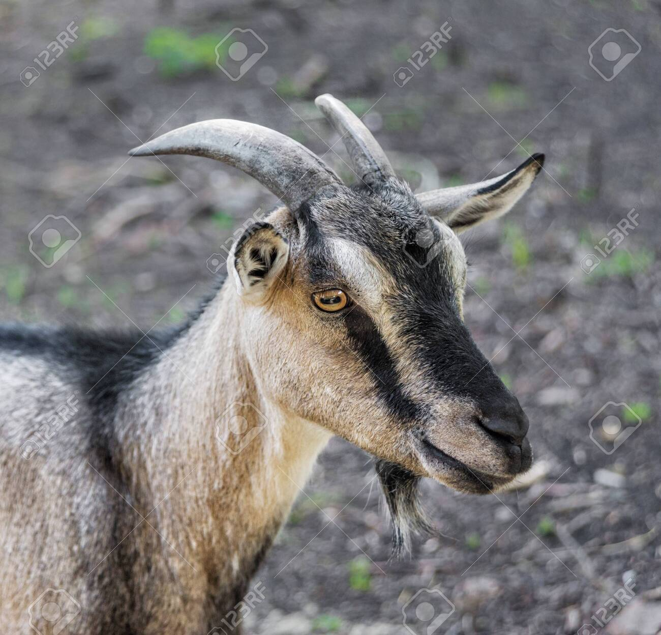 Close-up portrait of a brown domestic goat with horns outdoors - 135833709