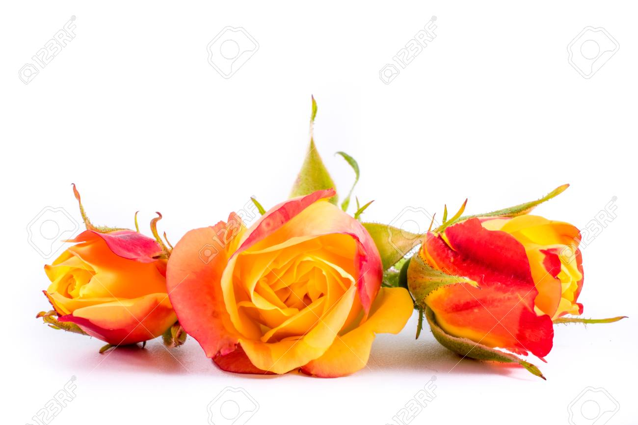 Close Up Of Pink Orange Roses Flowers On White Background With