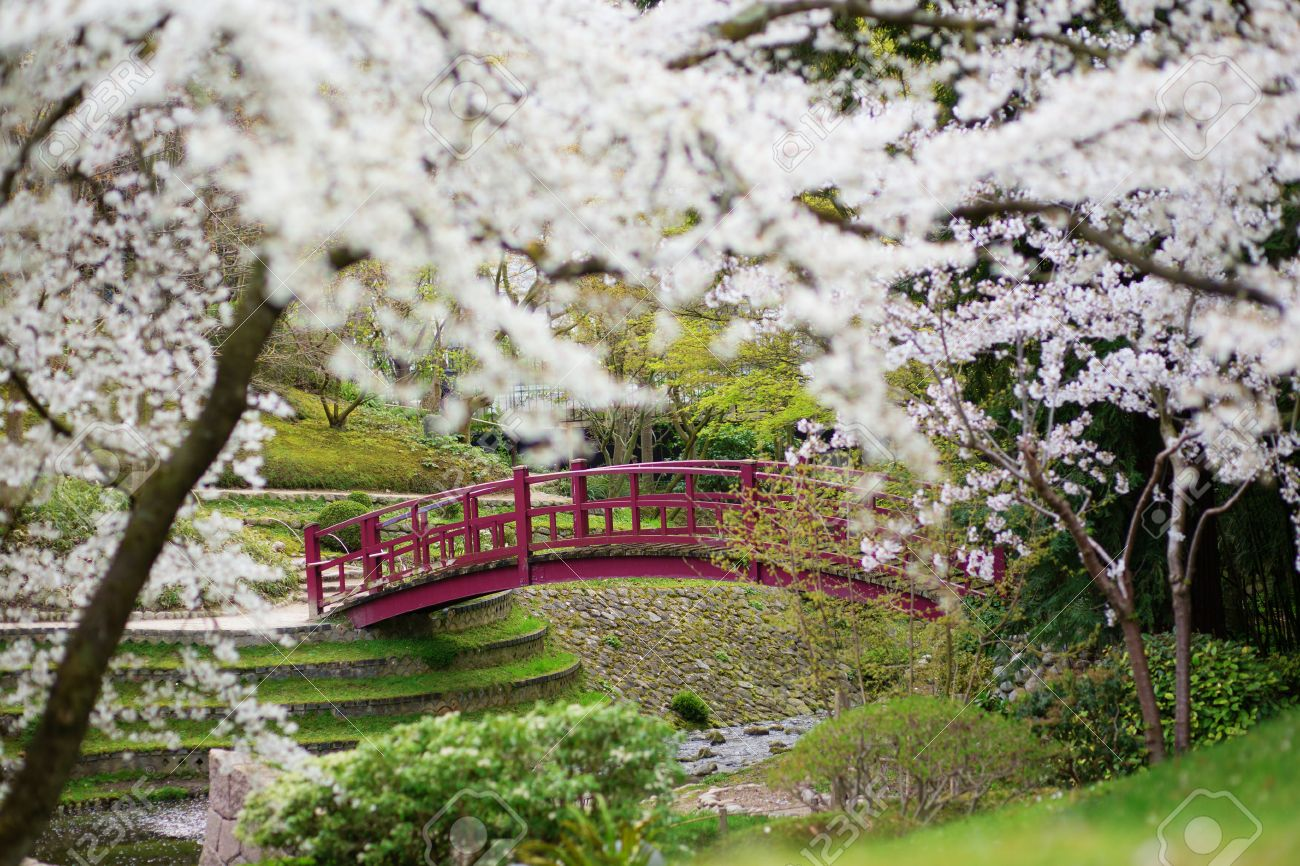 cherry blossoms in a japanese garden stock photo - Japanese Garden Cherry Blossom Bridge