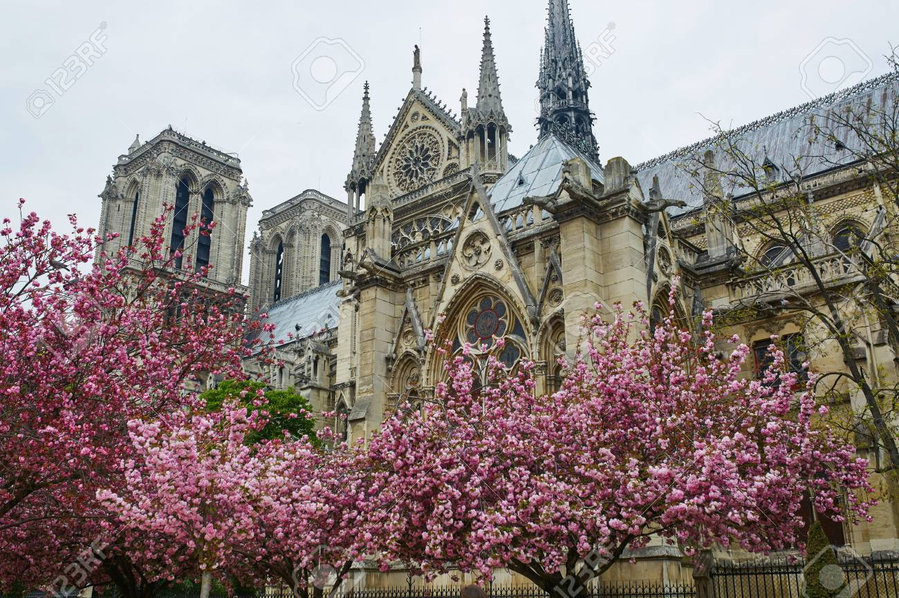 5743c0087 Cathedral Notre-Dame de Paris with beautiful cherry blossom trees in full  bloom. Spring