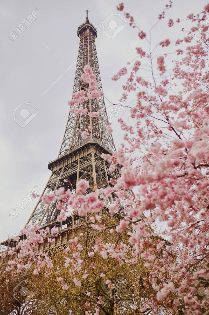 Cherry blossom flowers in full bloom with Eiffel tower in the background. Early spring in Paris, France - 74940477