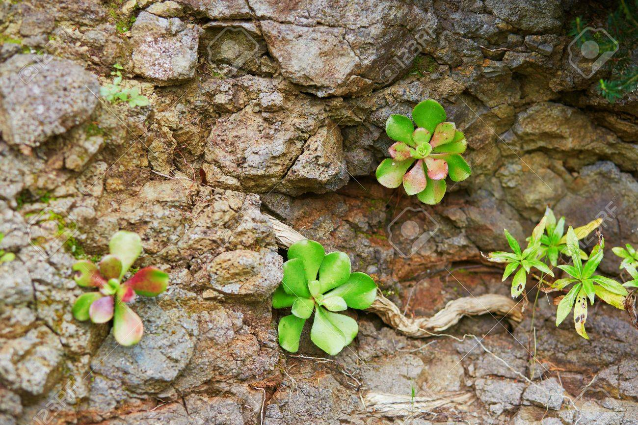 Succulents Growing On Rocks On Madeira Island Portugal Stock
