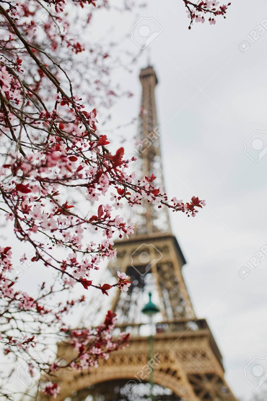 Cherry blossom season in paris france branch with first pink cherry blossom season in paris france branch with first pink flowers in the beginning mightylinksfo