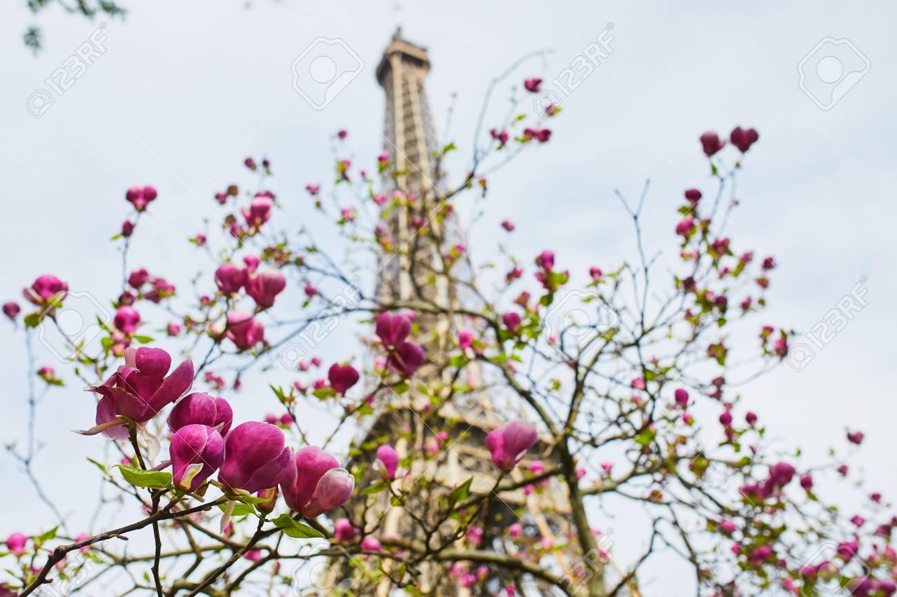 Cherry Blossom Season At Spring In Paris France Beautiful Magnolia